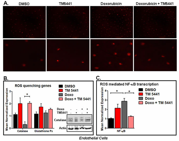 PAI-1 inhibitor TM5441 inhibits Doxorubicin-induced ROS generation in endothelial cells.