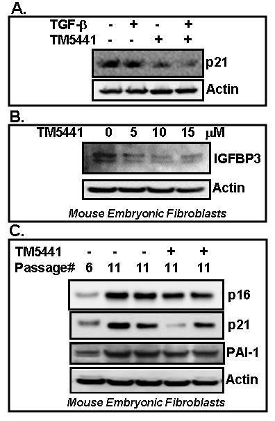 PAI-1 inhibitor TM5441 inhibits stress-induced and replicative senescence in fibroblasts.