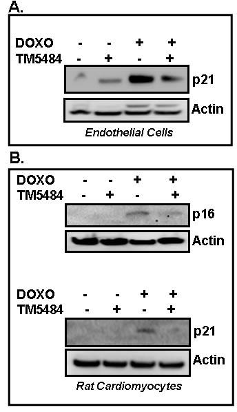 PAI-1 inhibitor TM5484 inhibits Doxorubicin-induced senescence in cardiomyocytes and endothelial cells.