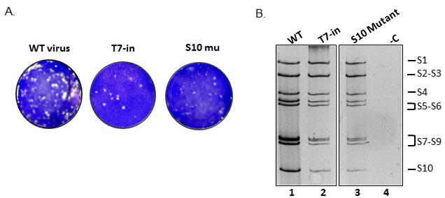 Reverse genetics of individually synthesized segments.