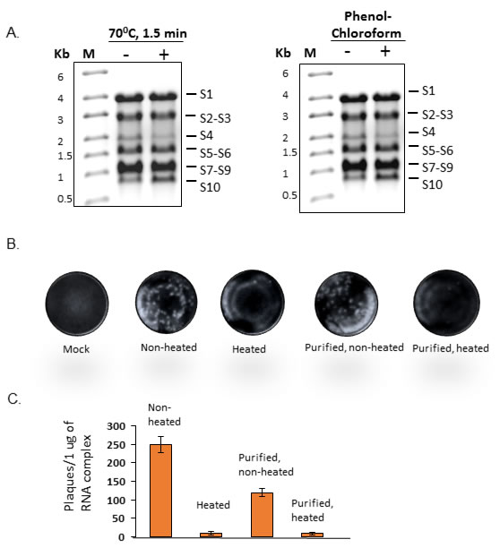 Infectivity of disrupted co-transcribed RNA products.