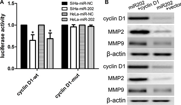 cyclin D1 is a candidate target of miR-202.