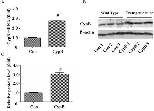 Characterization of Cypb transgenic mouse.