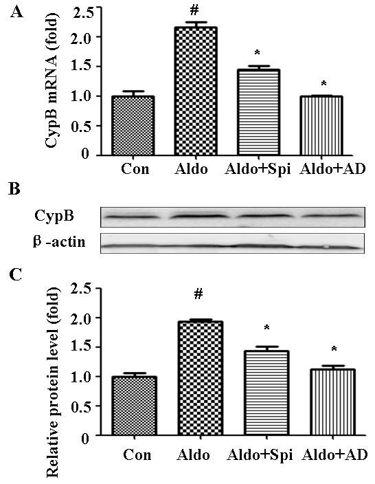 Aldosterone (Aldo) stimulation transcriptionally upregulates CYPB.