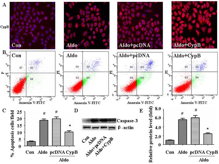 CYPB overexpression suppresses aldosterone (Aldo)-induced apoptosis.