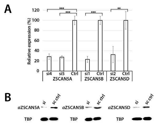 siRNA knockdown of ZSCAN5 and antibody specificity.