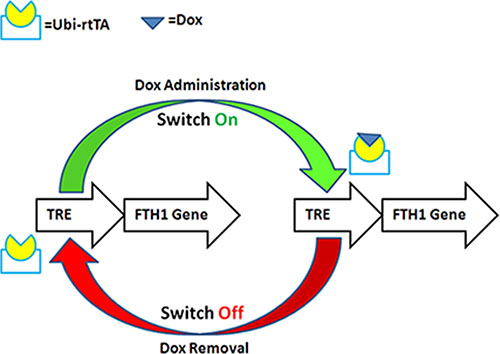 Schematic illustration of Dox-controlled FTH1 expression.