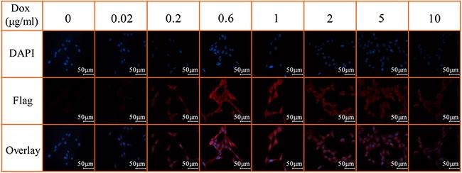 Immunofluorescent staining of Dox-inducible Flag expression.