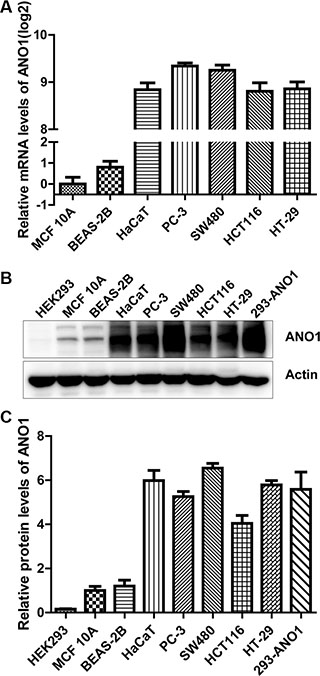 Comparison of ANO1 expression levels in multiple epithelial cell lines.