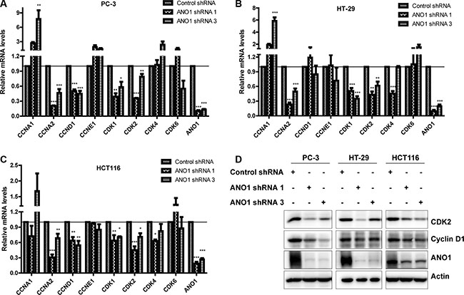 Analysis of mRNA and protein levels of cyclins and CDKs in PC-3, HT-29 and HCT116 cells after ANO1 knockdown.
