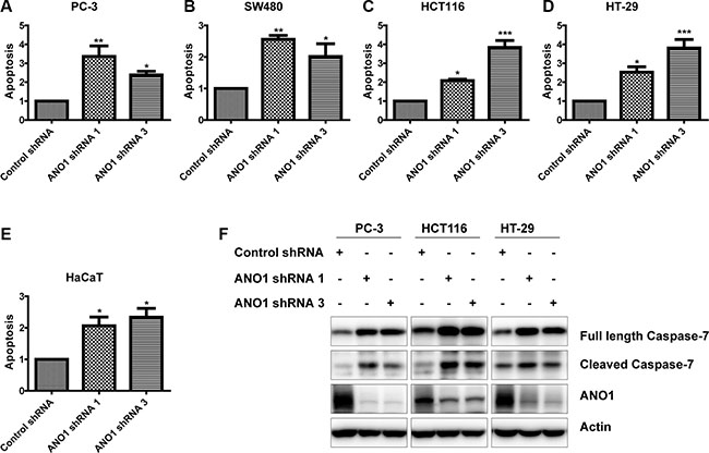 Knockdown of ANO1 induces cell apoptosis in prostate cancer and colon cancer cells.