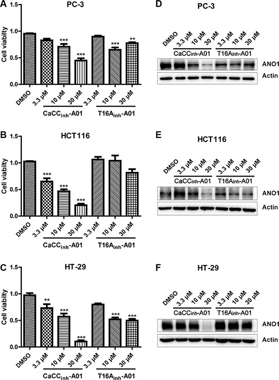 Effects of pharmacological inhibition of ANO1 on cell viability of PC-3, HCT116 and HT-29.