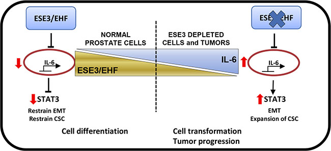 ESE3/EHF controls the activation status of IL-6 and JAK/STAT pathway in normal prostate.