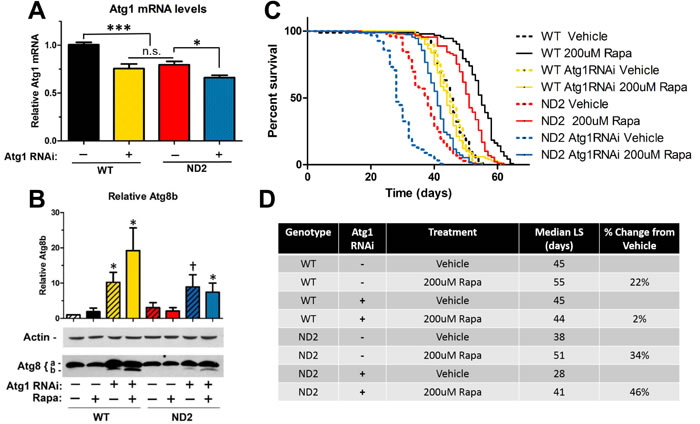Rapamycin extends lifespan in ND2 mutant flies in an autophagy-independent manner.