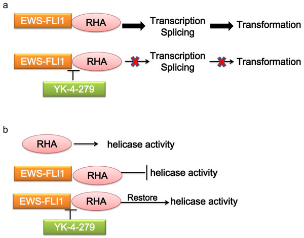 Mechanism of targeting the interaction of EWS-FLI1 and RHA.