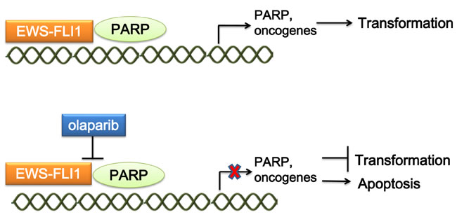 Mechanism of targeting the interaction of EWS-FLI1 and PARP.
