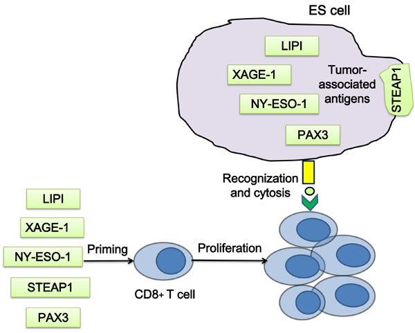 Strategies of T cell priming by ES associated antigens.