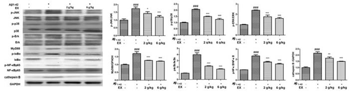 Effects of EX on the activation of MAPK/NF-κB pathway-related protein of Aβ
