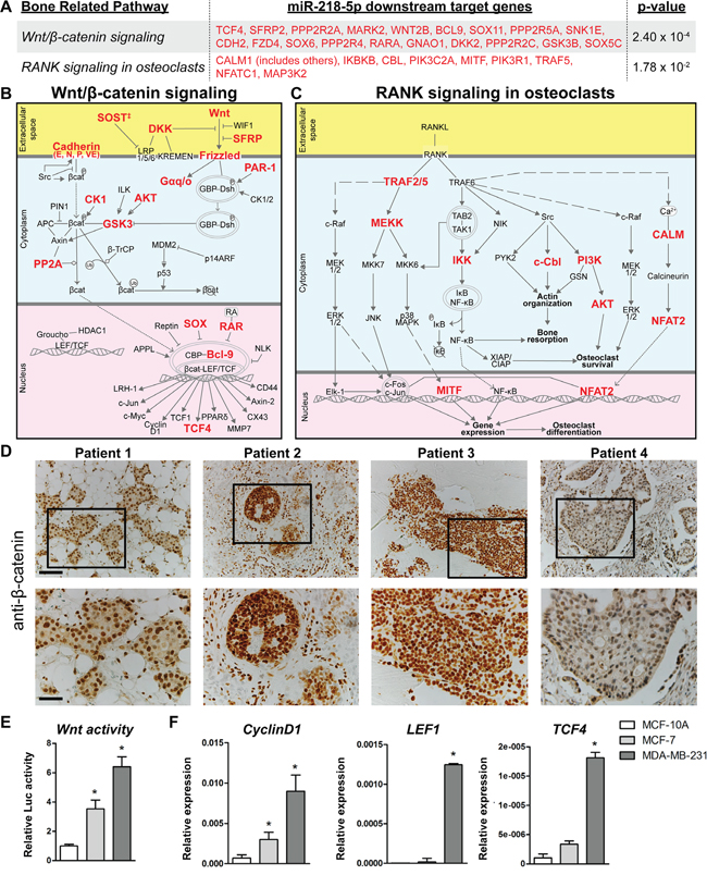Wnt and RANK signaling were among the highest enriched pathways of miR-218-5p target genes.