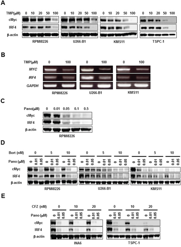 Panobinostat and proteasome inhibitors cooperatively reduce cMyc and IRF4.