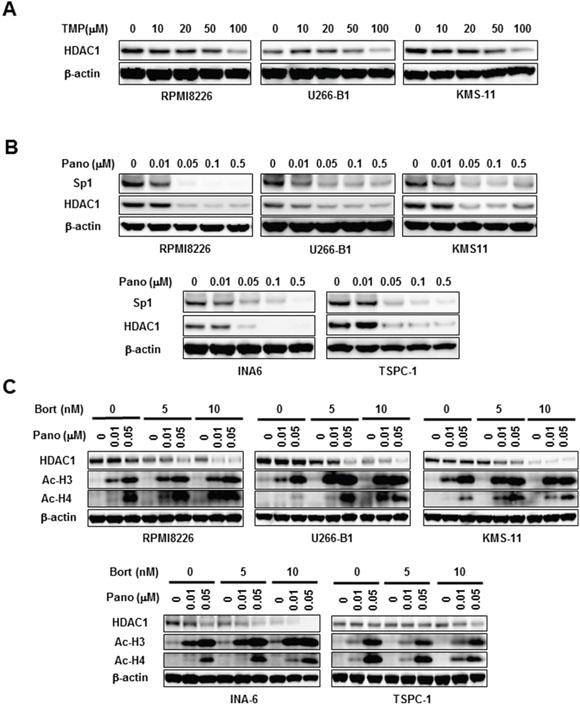 HDAC1 reduction by panobinostat and bortezomib in combination.