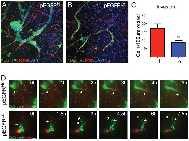 Ex vivo slice cultures demonstrate blood vessel co-option and preferential multicellular clustering by pEGFRHi.