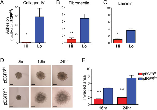 EGFRvIII highly active tumor cells exhibit decreased cell adhesion and invasion in vitro.