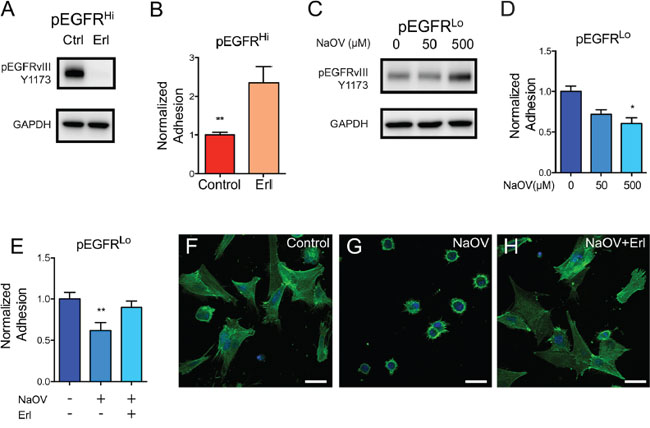 EGFRvIII activity dictates adhesion properties in mouse tumor cells.