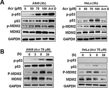 Acrolein stabilizes and activates p53 in p53-active A549 cells.