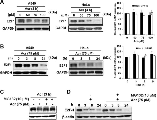 Acrolein increases proteasomal degradation of E2F-1 in p53-active A549 and p53-inactive HeLa cells.