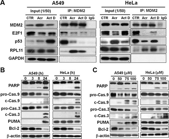 Acrolein induces binding of RPL11 to MDM2, p53 stabilization, degradation of E2F-1 and Bcl2, and activates apoptotic enzymes caspase 9 and 3.