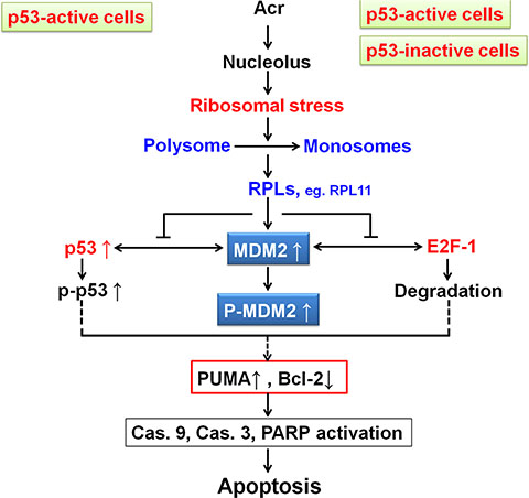 Model of Acr-induced ribosomal stress responses in p53-active and -inactive cancer cells.