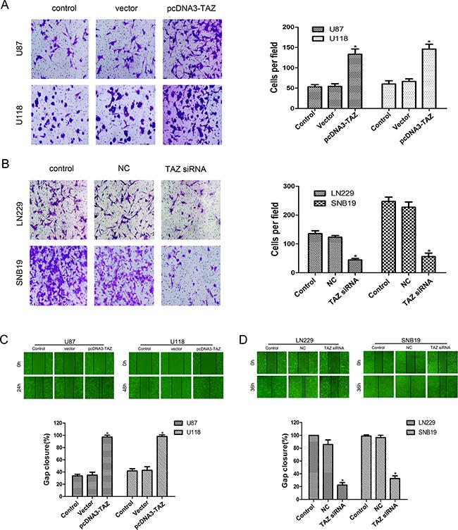 TAZ enhances invasion and migration of glioma cells.