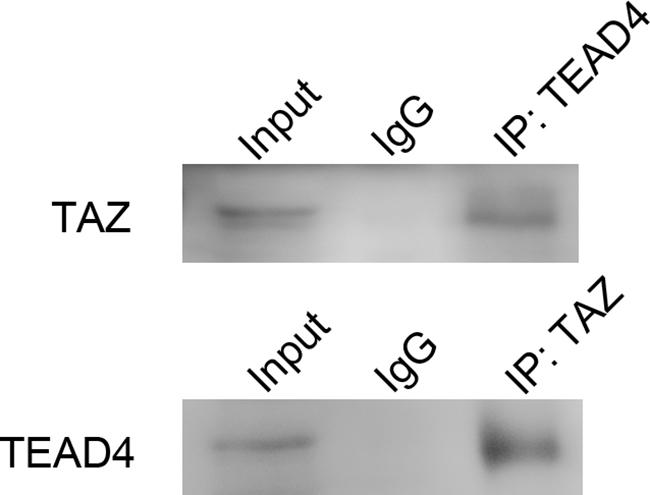 Co-immunoprecipitation of TAZ and TEAD4.