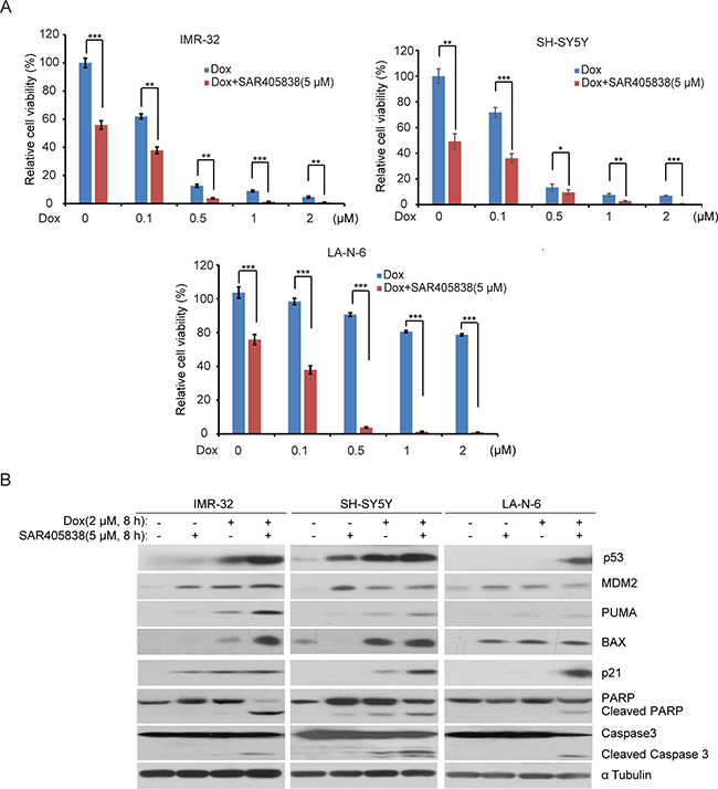 SAR405838 enhances the cytotoxic effect of Doxorubicin on NB cell lines.