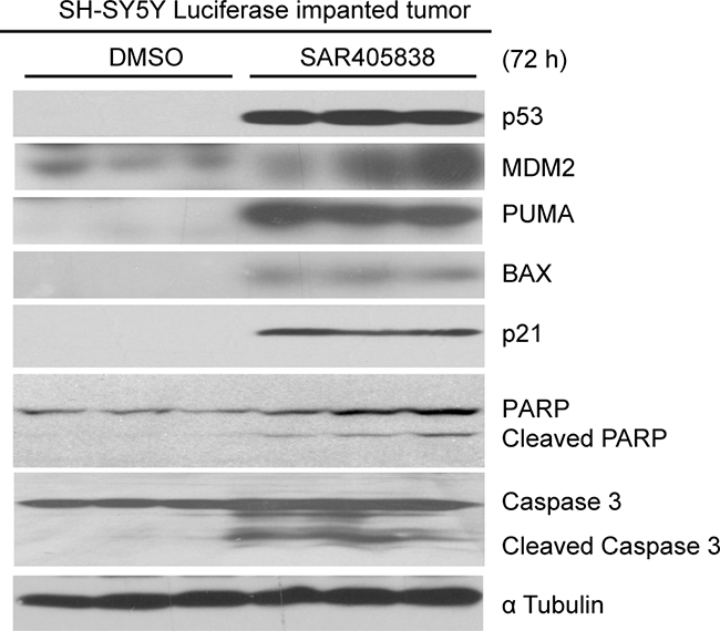 SAR405838 induces p53-mediated apoptosis in tumor cells in mouse model of NB.