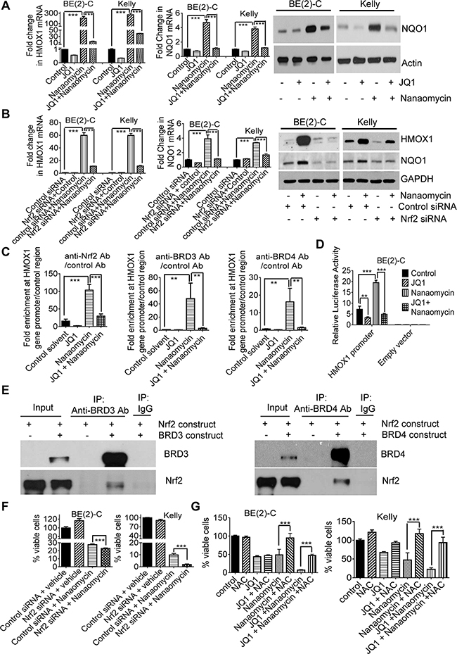 JQ1 exerts synergistic anticancer effects with nanaomycin by blocking Nrf2-mediated antioxidant gene transcription.