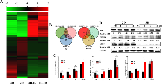Expression of cell cycle regulation genes in irradiated 2D and 3D A549 cells.