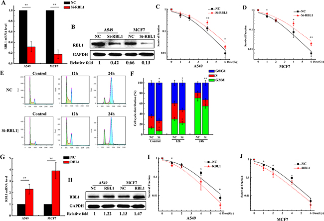 Knockdown of RBL1 enhances the radioresistance of 2D cultured A549 and MCF7 cells and decreases the G2/M arrest induced by X-ray.