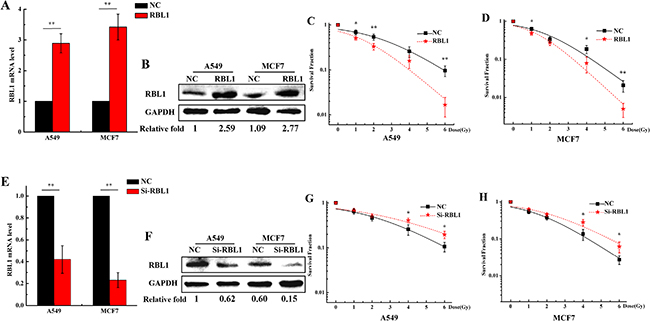 Overexpression of RBL1 sensitizes the 3D cultured A549 and MCF7 cells to X-rays.