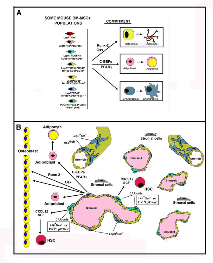 Schematic representation of Mouse Bone Marrow MSC populations.