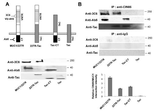 CIN85 associates with two distinct MUC1 domains.