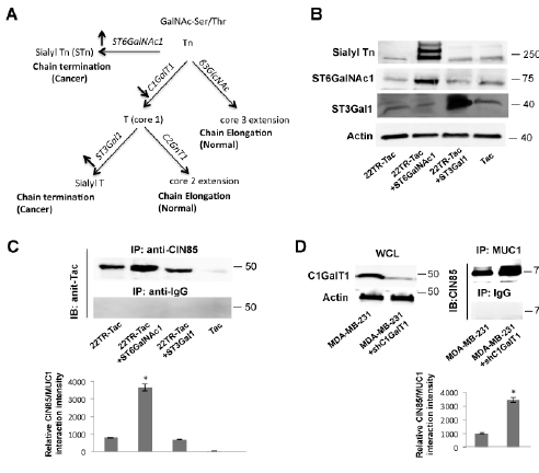 Hypoglycosylation of MUC1 facilitates the interaction between MUC1 and CIN85.