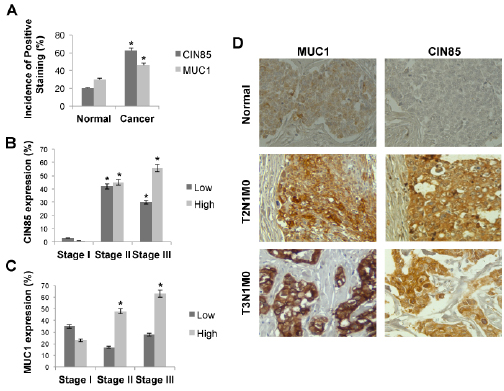 CIN85 and MUC1 are overexpressed in advanced stages of breast cancer.