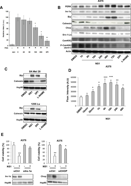 NS1 induces an early ER stress, modulated ROS levels and enhanced a release of calcium.