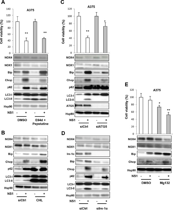 Evaluation of the autophagy in response to NS1 treatment using siRNAs and drugs.