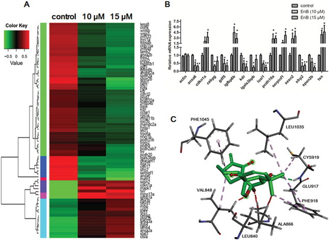 EriB exerted anti-angiogenic effect via the modulations of angiogenic genes expression and interaction with the ATP-binding sites of VEGFR-2.
