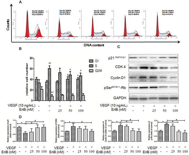 EriB caused G1 arrest via the modulation of p21-cyclin D1/CDK4-pRb pathway.