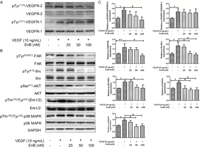 EriB inhibited the activation of VEGFR-2 induced by VEGF and suppressed VEGFR-2-mediated downstream signaling pathway.