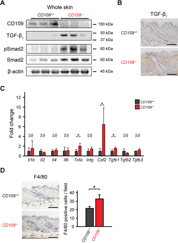 CD109 deficiency enhanced TGF-β signaling and induced macrophage infiltration in mouse skin.